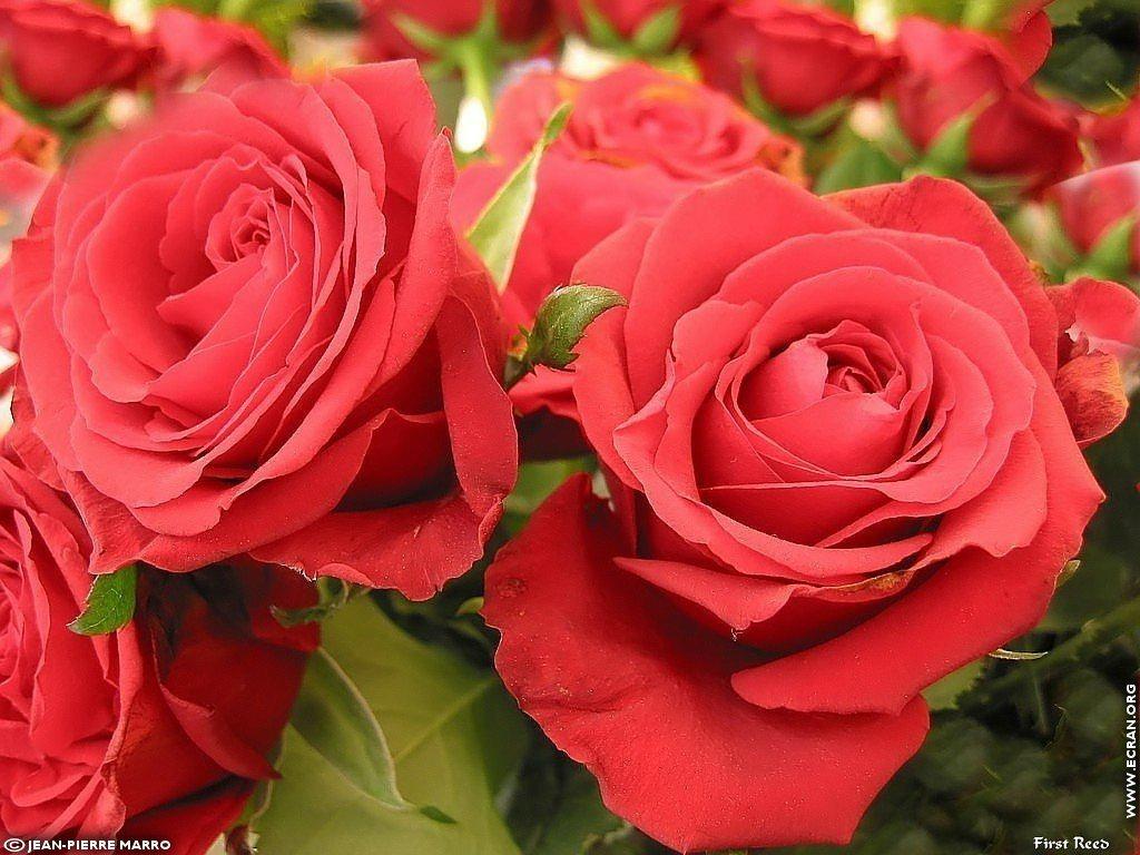 Eau de rose carabiens le forum for Fond ecran rose